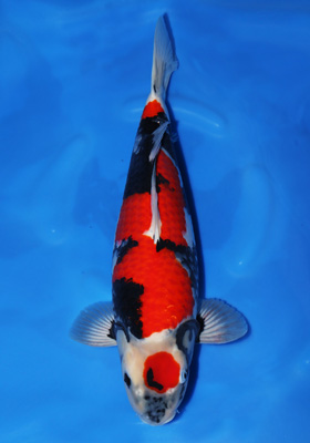 Okayama momotaro koi farm congratulations for Male koi fish